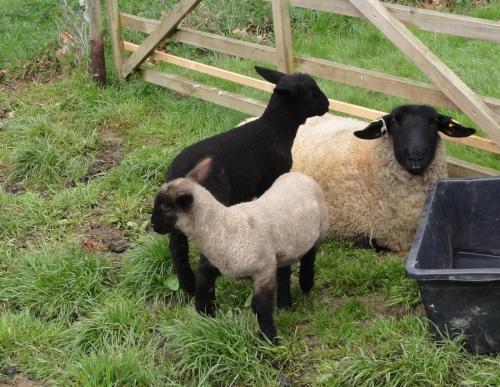 Burgsahr Schafe