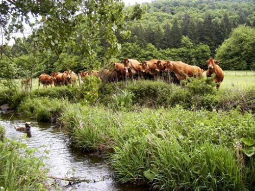 Kühe am Sahrbach