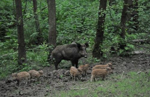 Wildschwein Begegnung
