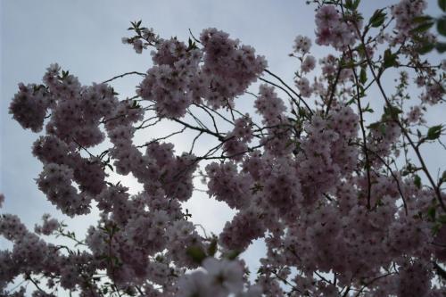 Kirschbaum Blüte