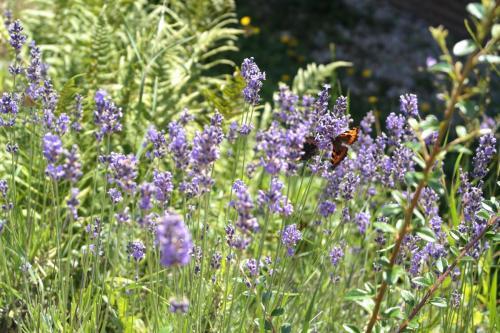Lavendel am Südhang