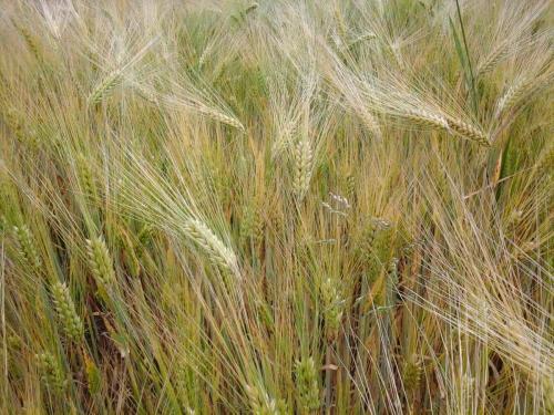 Weizen reift
