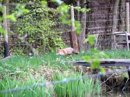 Fuchs auf der Pirsch